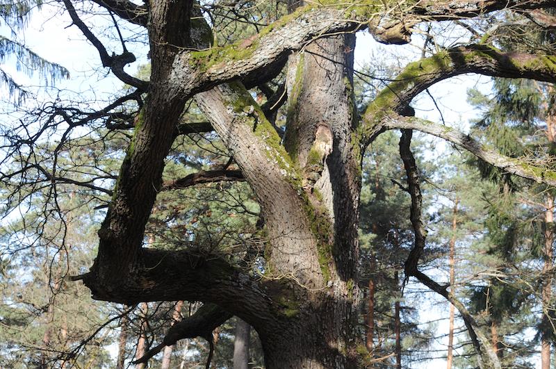 knorriger Baum