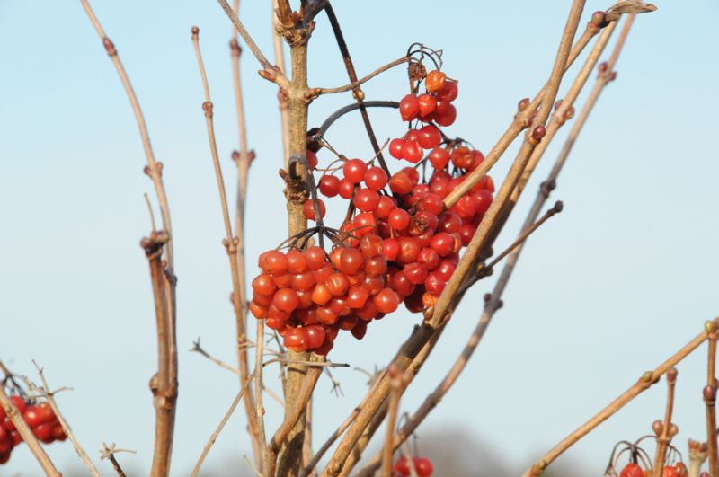 rote Beeren